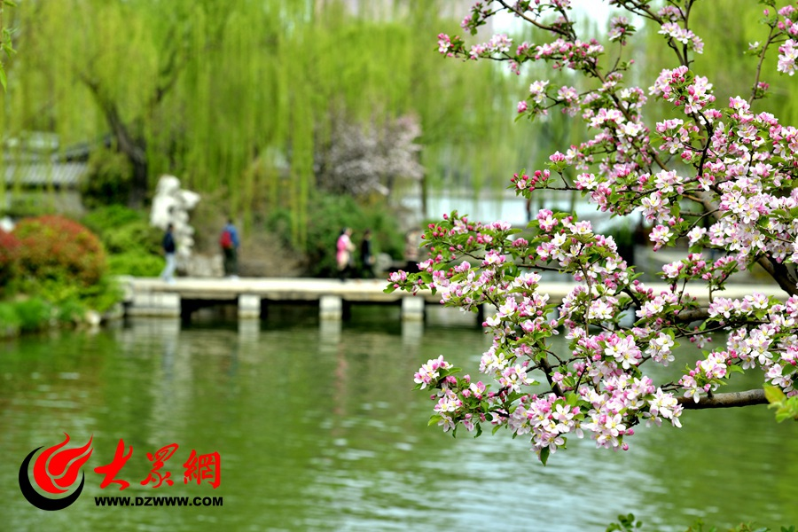 春天来到,大明湖边的柳树发芽