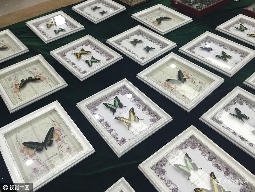 记者5日从海关总署获悉,济南海关日前查获涉嫌走私进境的蝴蝶标本2800余枚,其中1180枚属于《濒危野生动植物种国际贸易公约》(CITES公约)附录II保护物种。