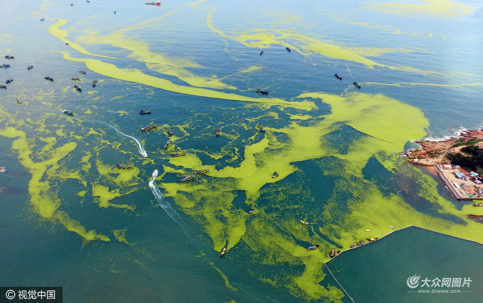 7月13日,山东省青岛市,青岛湾出现成片浒苔,被预先设置的拦截网围在近海,10余艘渔船正参与打捞处理。