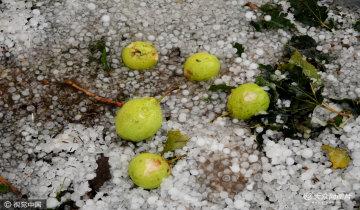 滨州突降特大冰雹 近十万亩鸭梨惨遭绝产