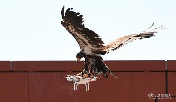 制空新招!荷兰警方训练老鹰抓无人机