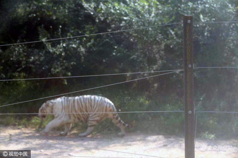 2016年9月15日,八达岭野生动物园猛兽区改造完成,在道路两旁架设了电网,重新开放游客的自驾车游览,但发生老虎伤人事件的东北虎园仍处于关闭状态。