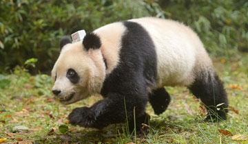中国首次同时放归两只雌性大熊猫