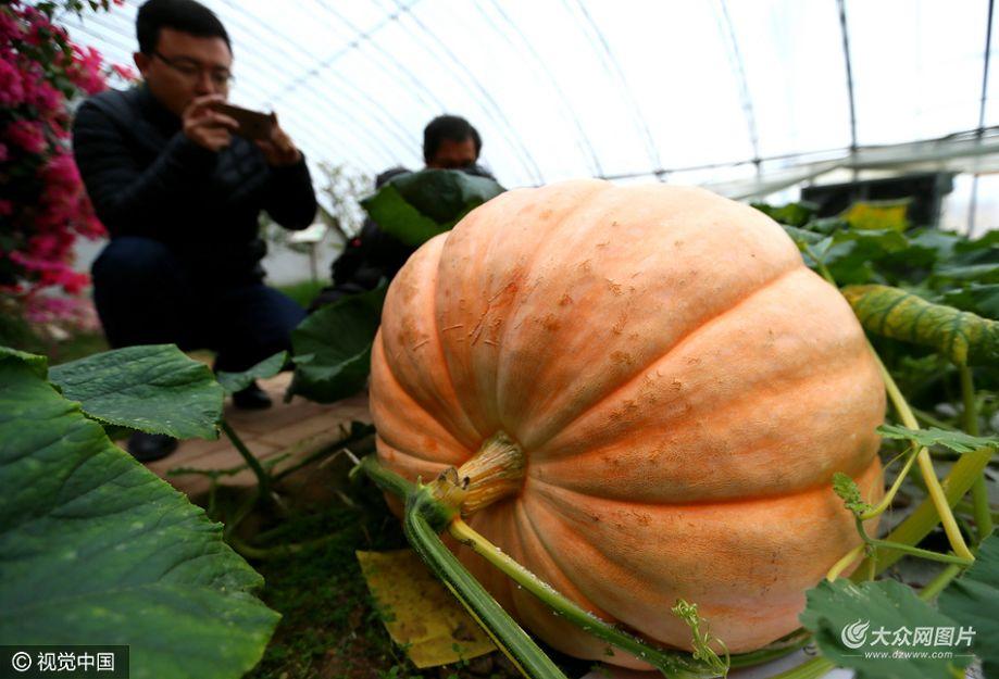 """近日,青岛大沽河畔的即墨市国家农业高新区现代农业示范基地引进的""""巨人南瓜""""试种成功,吸引了众多参观者拍照观赏。"""