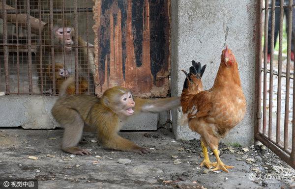 猴年将去鸡年即来,当猴子遇上鸡画面太喜感