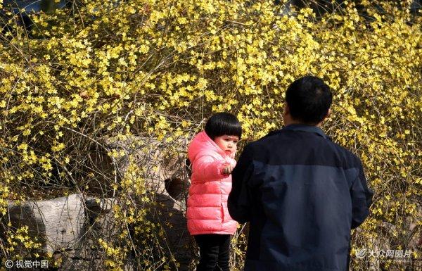 大明湖畔大片迎春花开 市民游客争相拍照