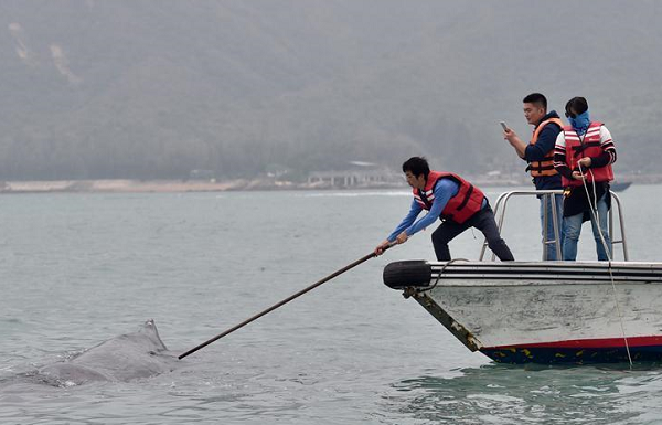 抹香鲸被渔网缠3小时 获救后不肯离去