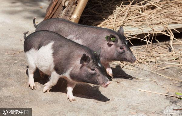 """""""克隆猪""""在深圳市野生动物园首次展出"""
