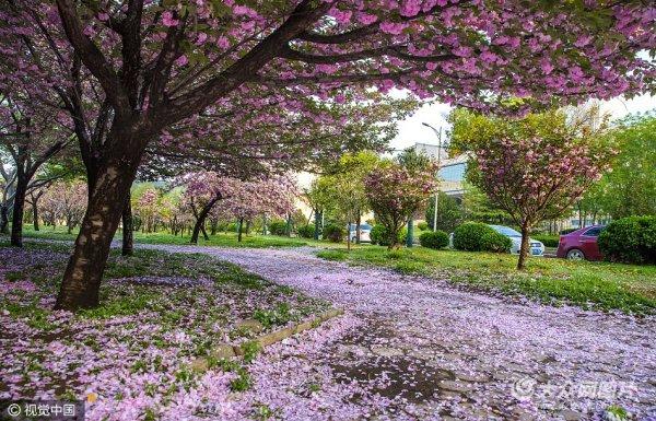 济南:雨后樱花落满地