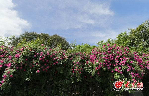 """济南最""""文艺""""蔷薇花开了"""