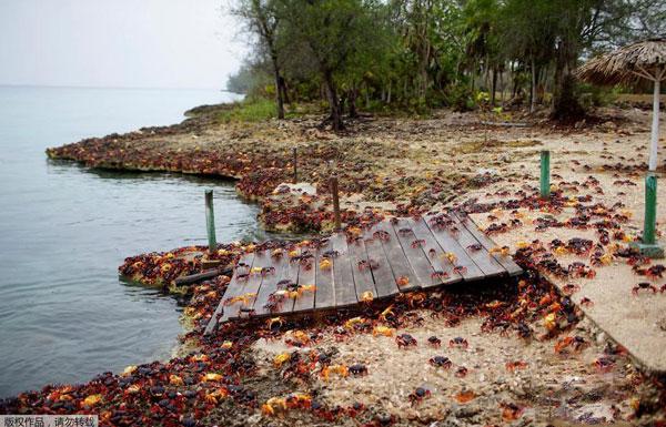 密恐慎入!古巴大批螃蟹聚集海滩产卵