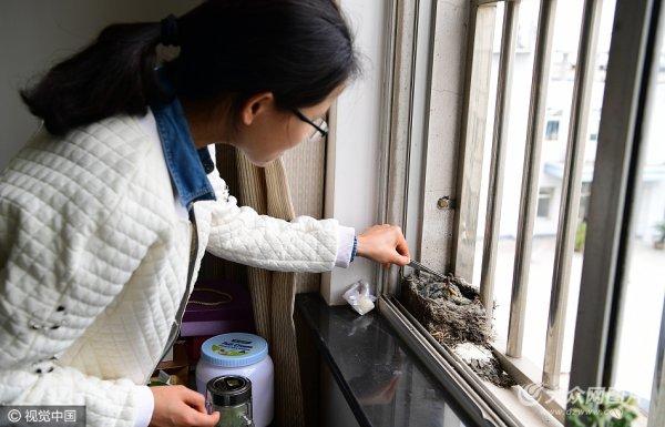 八哥筑巢机关办公楼窗台 生蛋孵出六宝宝