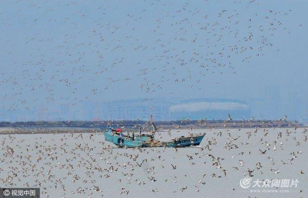 """青岛大潮日数万候鸟奔赴滩涂""""餐厅""""场面壮观"""