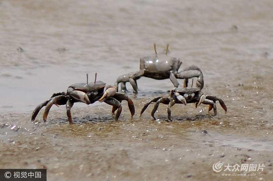 2017年7月7日,青岛市,随着退潮,数以万计生活在滩涂上的螃蟹和弹涂鱼走出洞口,在泥水中穿行觅食,由于数量庞大,密集场面蔚为壮观。
