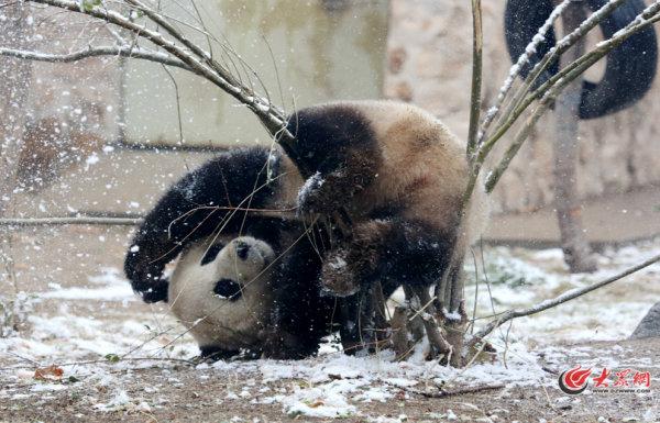 """超萌""""圆滚滚""""!济南动物园大熊猫在雪中爬树,打滚"""