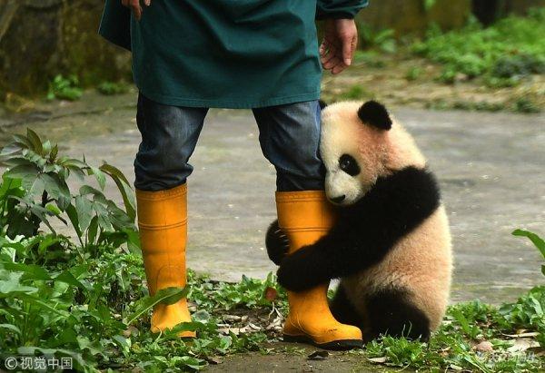 2017年3月18日,重庆市杨家坪动物园内大熊猫幼仔紧抱饲养员大腿卖萌.