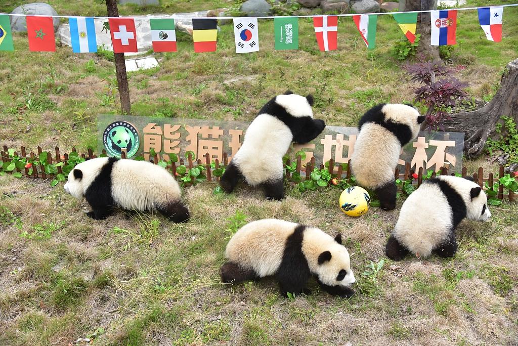 2018年6月10日,四川阿坝州,卧龙神树坪熊猫保护基地幼儿园,8只未