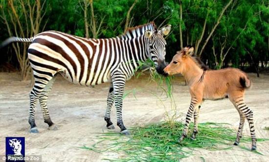 """墨西哥动物园斑马与农场驴交配产下罕见""""斑驴宝宝""""(组图)"""