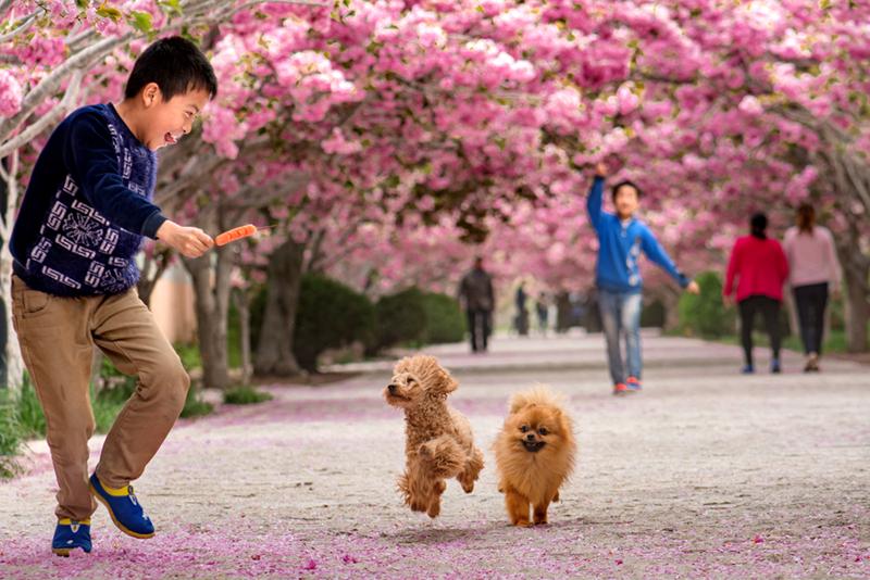 4 樱花树下--2016年4月,莱阳市濯村的樱花大道,孩子们和宠物狗在开心的玩耍。---栾美华.jpg