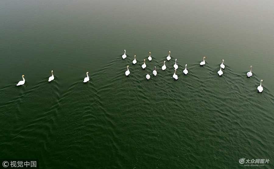 聊城:白天鹅栖息金牛湖