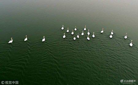 2018年3月10日,千亿国际娱乐网址聊城,在茌平县金牛湖北段,白天鹅再次光临金牛湖,20只白天鹅在宽阔碧绿的水面上,伴着微微春风嬉戏游弋,引来众多市民前来观看这一自然景观。