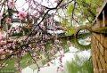 2018年3月19日,春分将至的苏州街头、河边到处桃红柳绿,春花烂漫,呈现一派春意盎然的迷人景象。