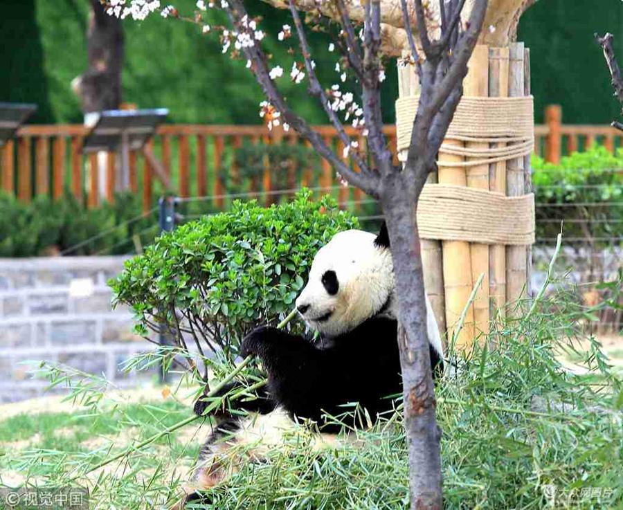 济南:大熊猫园内散步尽享美好春天