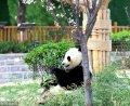 2018年3月27日,山东济南春暖花开,动物园内熊猫在园中散步,吃美食享受春天美好阳光。