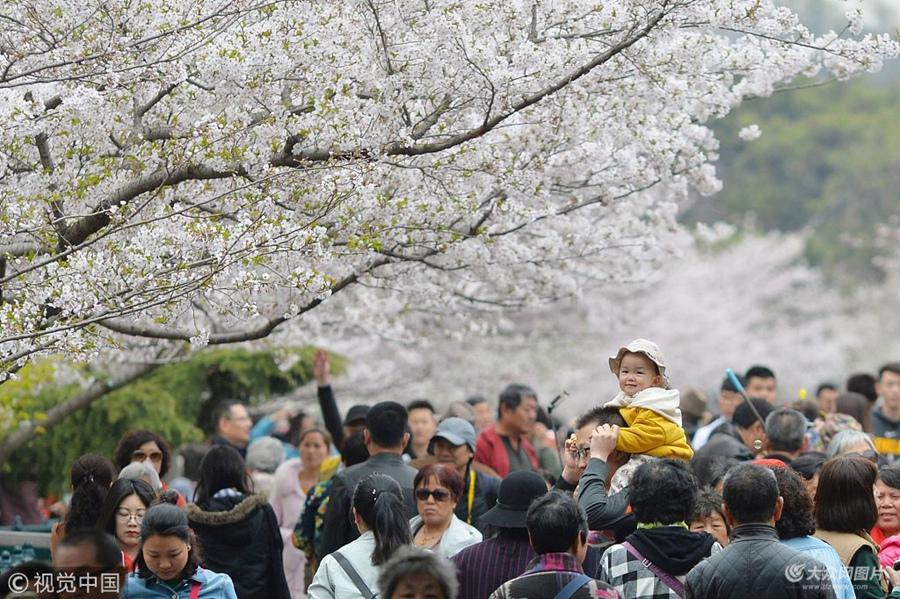 青岛樱花进入盛花期 花海满园游人如织