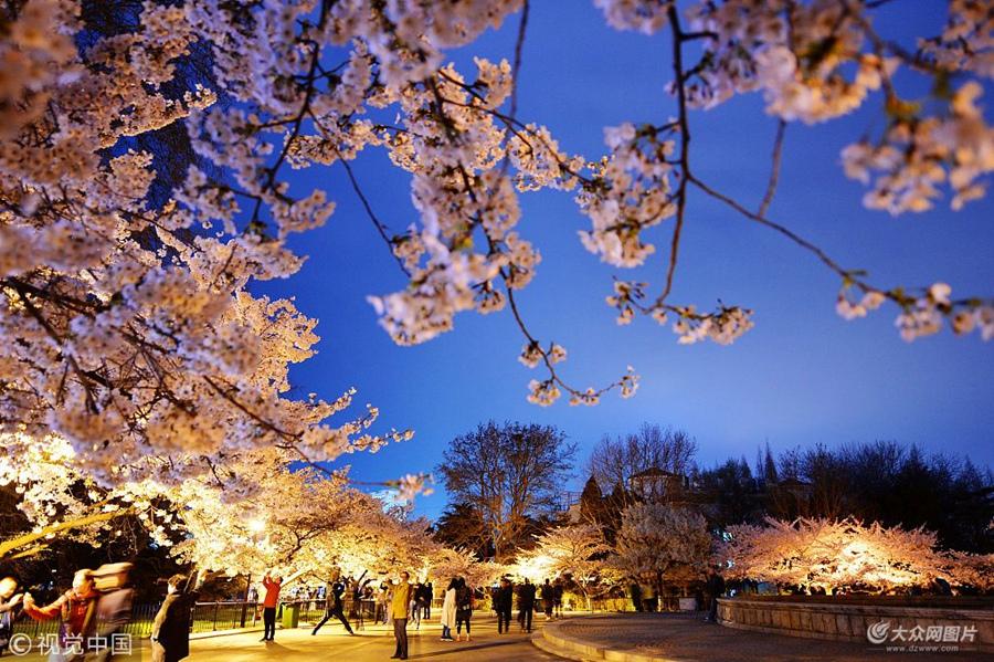 青岛:夜色樱花美轮美奂 吸引游客驻足拍照