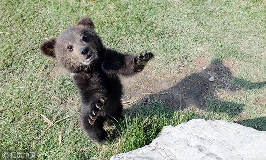 聊城:熊二代萌态十足 动作笨拙引游客围观