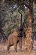 2018年4月24日讯(具体拍摄时间不详),津巴布韦马纳潭国家公园,一只35岁的大个非洲象站直身体去够上面的树叶。