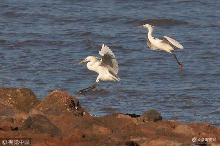 2018年5月3日,两只濒危珍稀鸟类黄嘴白鹭出现在青岛沿海湿地觅食,引起鸟类爱好者的关注。