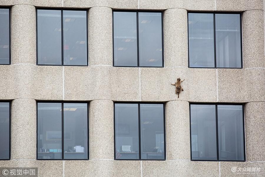 """美国一只小浣熊成""""网红"""" 勇攀20层高楼引围观"""