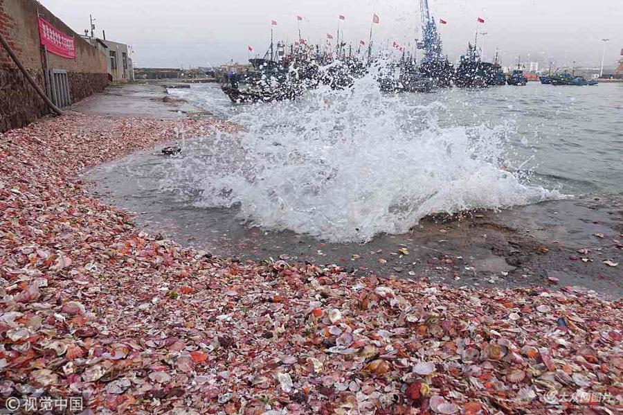 青岛逢天文大潮 大量贝壳被海浪卷上码头