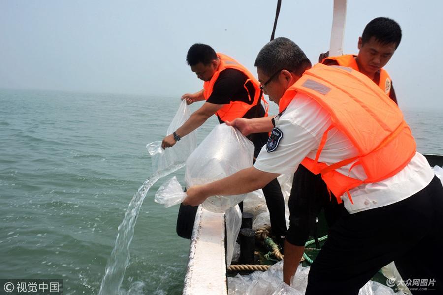青岛:50余万只金乌贼鱼苗播种大海