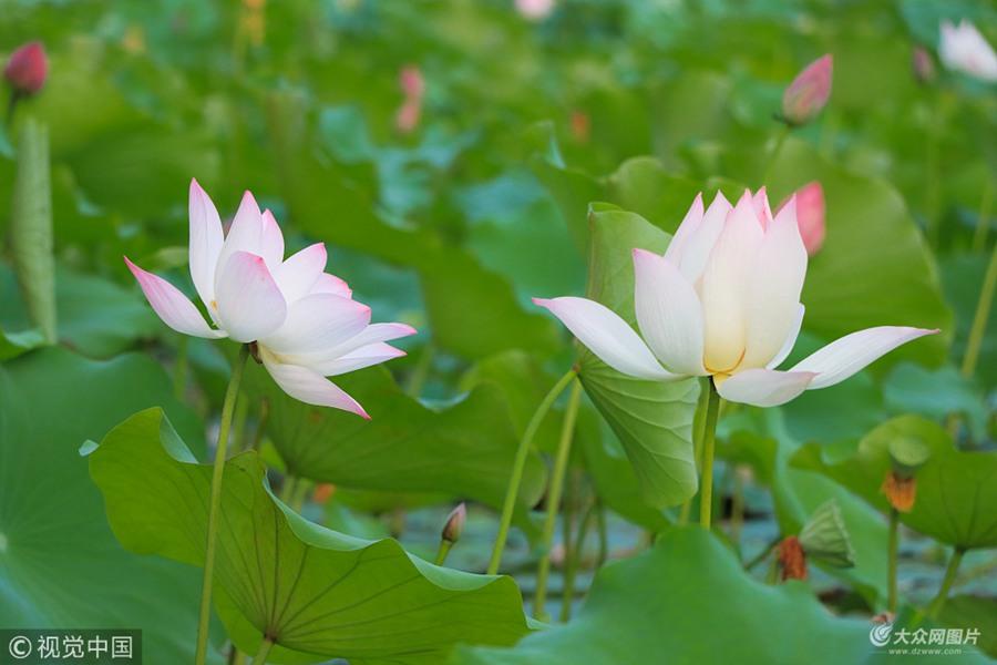 济南华山湖荷花盛开 万紫千红分外妖娆
