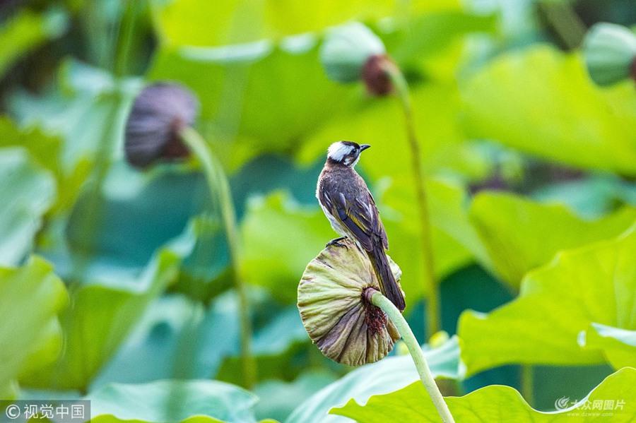 潍坊:实拍荷间小鸟