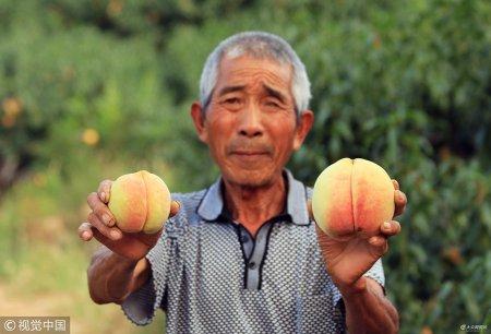 2018年9月17日,在山东省邹城市大束镇赵家庄村村东,有一座山,因孔子曾在此歇息,得名圣土山。七旬老人冯西发在西山坡种植寿桃有13年的历史。