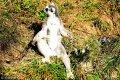 2018年10月11日,山东青岛,森林野生动物世界的环尾狐猴有的在草地上打坐晒太阳,有的在太阳下打闹嬉戏。
