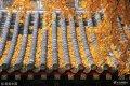 2018年11月25日,山东省邹城市孟庙内的银杏树进入最佳观赏期,金黄的树叶与古朴的建筑相互辉映。