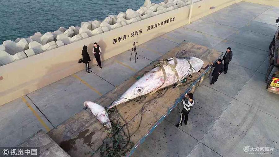 """重2.5吨死亡""""须鲸""""现山东威海荣成海域"""
