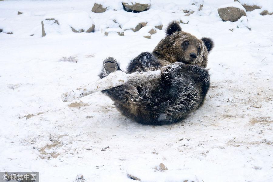 青岛:小棕熊雪地苦练棍棒神技 憨萌逗人