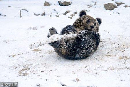 2018年12月11日,山东青岛森林野生动物世界,一头棕熊在雪地里抱着一根木棍玩耍。