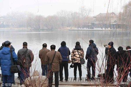 """2019年1月7日,在济南大明湖畔,许多市民专程来到这里围观""""新住户""""――海鸥。"""