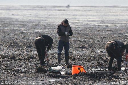 2019年1月24日,市民在青岛胶州湾赶海。寒冬腊月,正是海蛎子蚬母肥美时节,许多市民趁退大潮来到胶州湾滩涂赶海,享受大海慷慨馈赠。