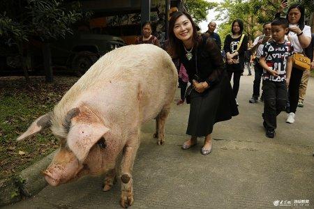 """2019年5月11日,成都建川博物馆,汶川""""512""""地震中的""""猪坚强""""在馆内散步,游客纷纷上前合影、拍照。"""