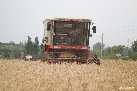 2019年5月30日,���f市山亭区凫城镇的小麦开始开镰收割,大型联合收割机在金黄色的麦田里穿梭。