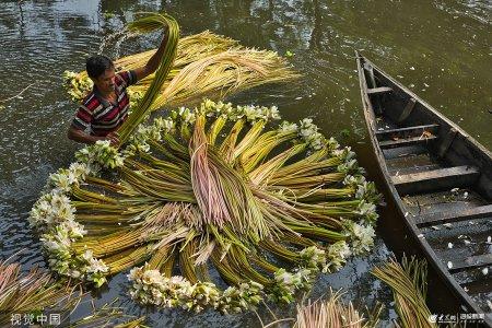 2019年8月21日讯(具体拍摄时间不详),孟加拉国,当地农民划着木船收获睡莲,然后将睡莲带到市场上出售。