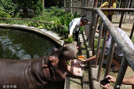 2019年9月11日,南宁,饲养员给河马喂月饼。